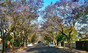Trees-in-Unley