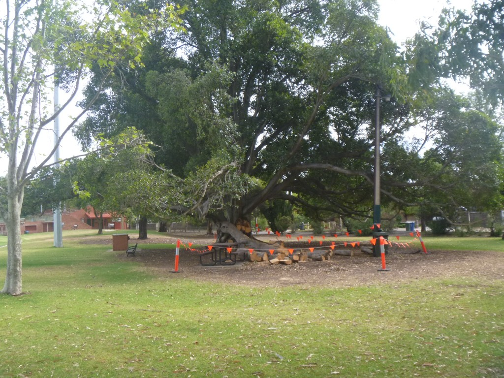 Goodwood Oval Morton Bay Fig Tree