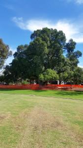 Goodwood Oval Port Jackson Fig Tree